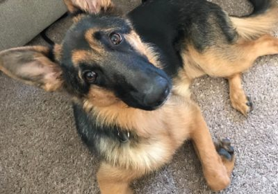 #germanshepherdtraining #puppytraining #dogtrainingphoenix