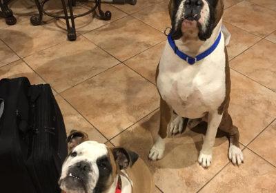 #bulldogtrainer #dogtrainingsurprise #boxerdogtrainer #dogtrainersurprise