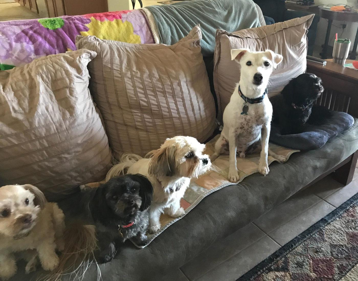 #jackrussellterrierdogtraining #dogsofbarkbusters #housebreaking #dogtrainingavondale