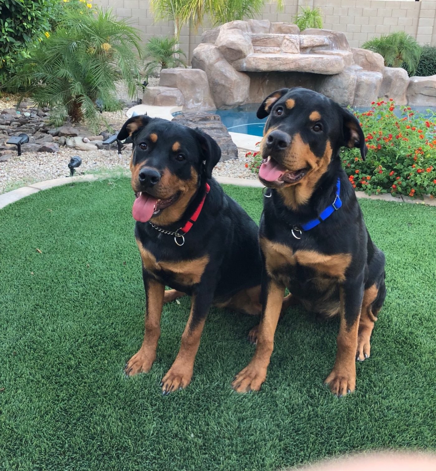 #rottweilertraining #dogsofbarkbusters #dogtraininggoodyear #bestdogtrainerphoenix