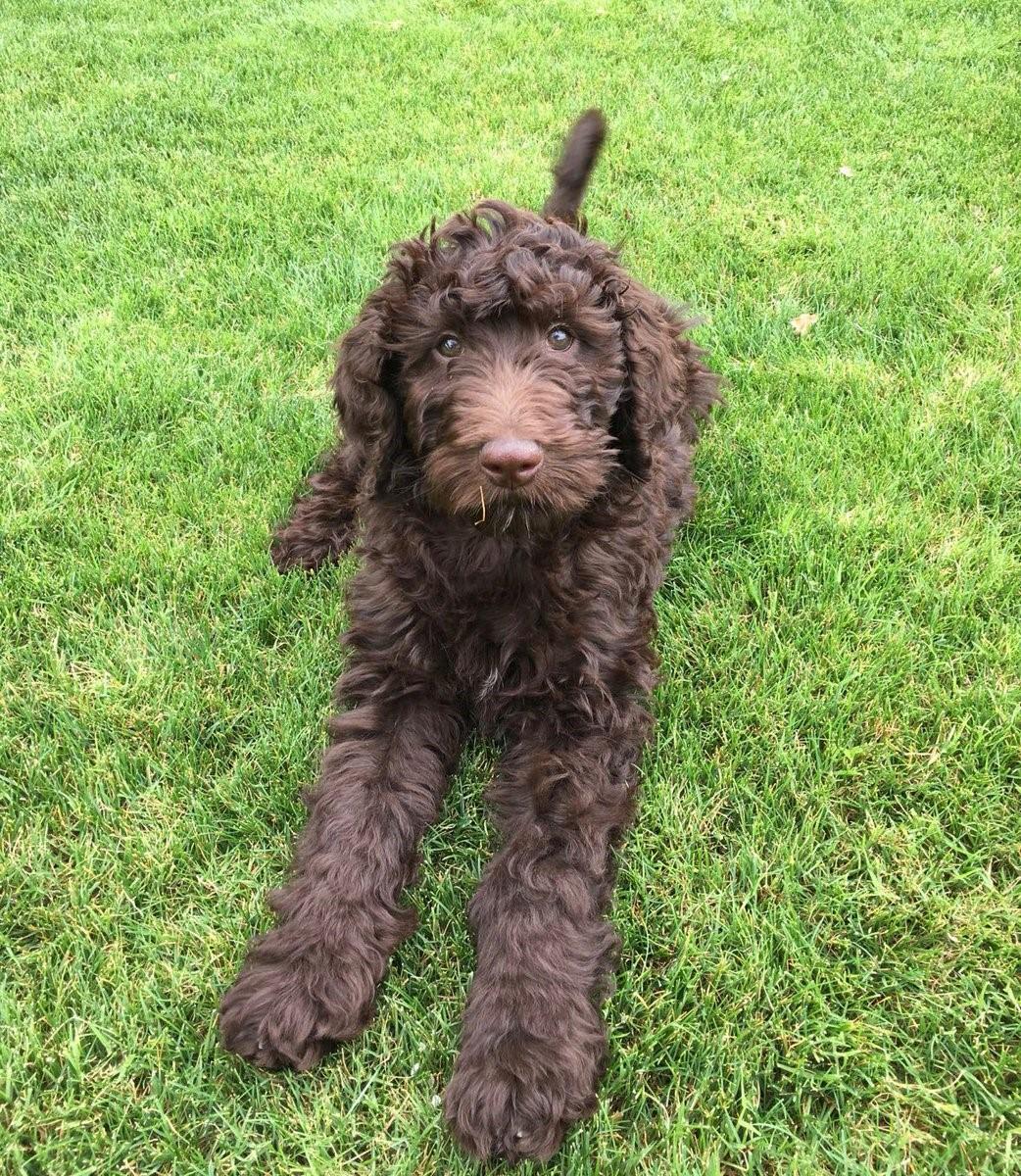 #goldendoodle #doodledogtraining #puppytraining #litchfieldparkdogtraining