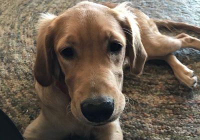 #puppytraining #goldenretriever #dogsofbarkbusters #puppytrainer #goodyeardogtraining
