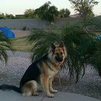 #germanshepherd #buckeyedogtrainer dogtrainingbuckeye #puppy