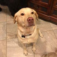 #labrador #lab #obediencetraining #dogtrainer #buckeyedogtraining #verradodogtrainer