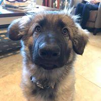 #verradodogtraining #buckeyedogtrainer #shepherddogtraining #shepherdpuppy