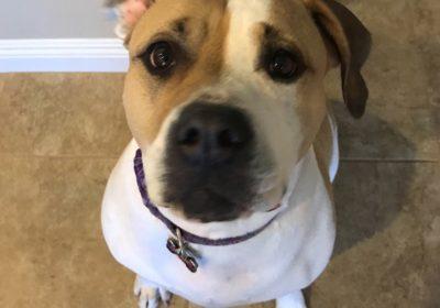 #pitbulldogtrainer #buckeyedogtraining #rescuedog