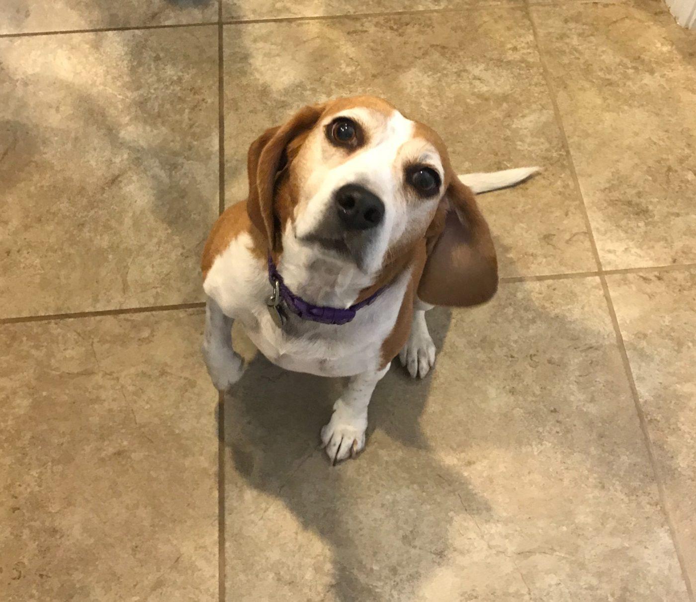 #beagle #buckeyedogtraining #dogtrainernearme