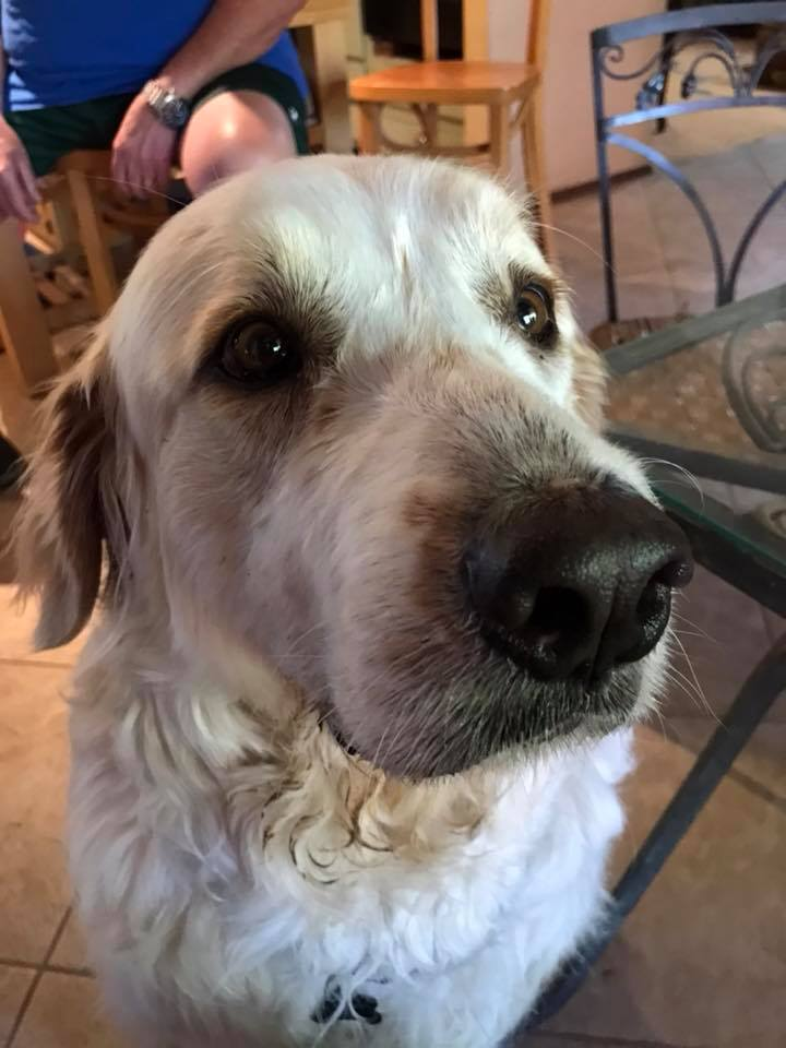 #greatpyrenees #peoriadogtraining #giantdogs