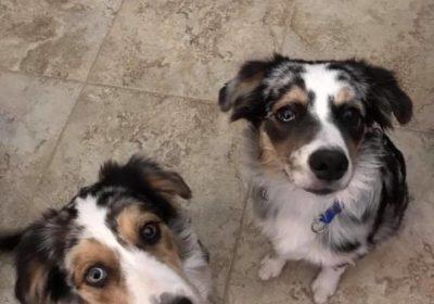#puppies #aussiecattledogs #australianshepherd #dogtrainingpeoria