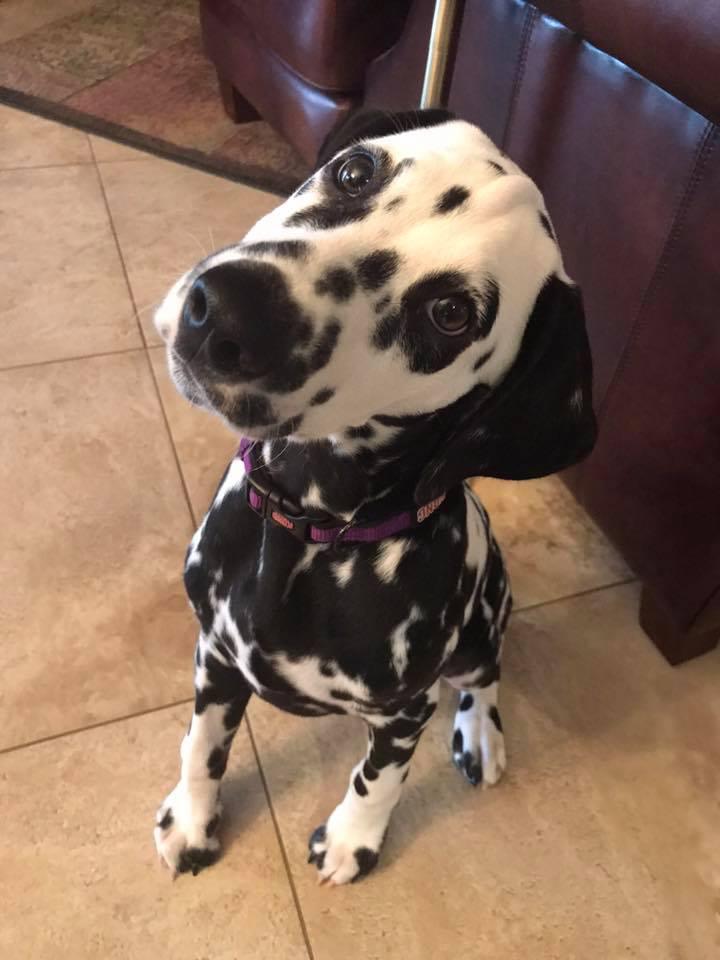 #dalmatian #suncitygrand #surprisedogtraining