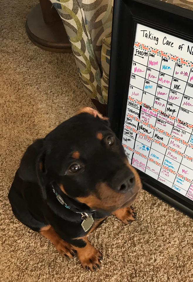 #rottweiler #puppy #puppytrainer #litchfieldparkdogtrainer